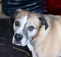 "Adult Male Dog - Boxer: ""GUS"""