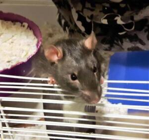 "Adult Male Small & Furry - Rat: ""Lentil"""