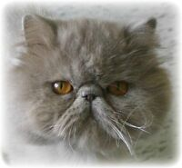 Lilac Persian - Registered, Vetted, Vacc, Health Tested