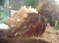 2 Large Hermit Crabs + Entire Habitat + Supplies