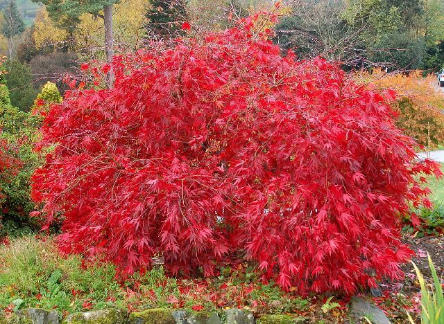 how to grow a japanese maple bonsai tree from seed