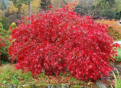 (Red Lace Leaf Japanese Maple, Acer palmatum atropurpureum dissectum, Tree Seeds)