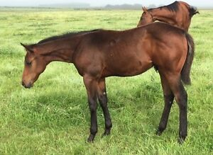 TB x Paint Weanling - Performance lines!