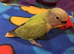 Baby Lovebird - $50