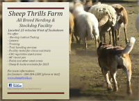 All-Breed Herding Lessons