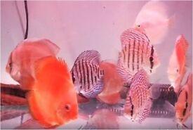 Discus tropical peaceful community fish
