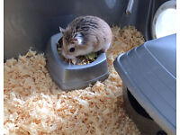 2 Roborovski hamsters with cage and accessories