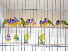 Gouldian finches $75pr spare males $35ea spare hens $42ea Rooty Hill Blacktown Area Preview