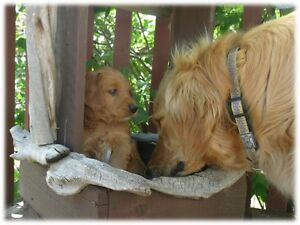 Gorgeous Red F1 Goldendoodle Puppies