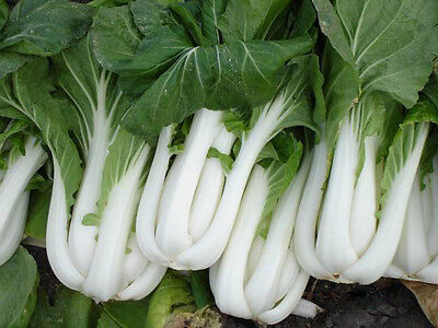 500 PAK CHOI CHINESE CABBAGE SEEDS HEIRLOOM 2019 (non-gmo heirloom vegetable see