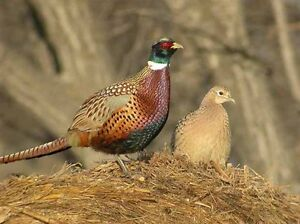 4 different types of pheasant ( and 10 rare breeds ) Moose Jaw Regina Area image 4