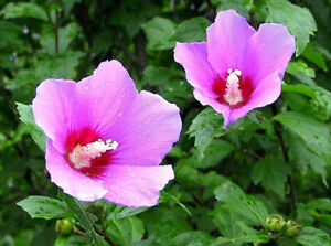 Rose of Sharon-Young Plants