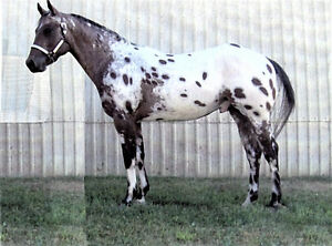Appaloosa at stud