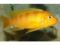 """2 Cichlid Fish 5"""" in size healthy"""
