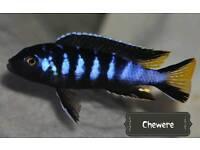Malawi Cichlids fry