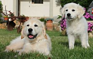 Searching for golden retriever maremma cross (prefer female)