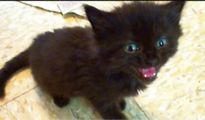 WANTED male black kitten