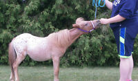 Yearling Appaloosa Miniature Colt For Sale