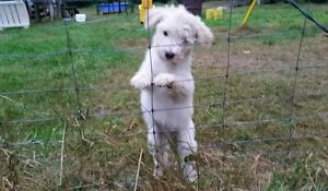 HYPO-ALLERGENIC WHOODLE PUP-SMALL