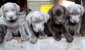 +++LABRADOR RETRIEVER PUPPIES+SILVERS+ALL RESERVED+++