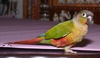 Yellow Sided - Conure & Cherry Headed - Conure