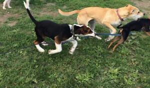 Chien de chasse; Treeing Walker Coonhound de race pure