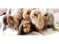 Pure Bred Mini Lop Bunnies for sale