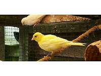 2x 2017 canaries