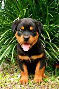 Rottweiler puppy WANTED Riverwood Canterbury Area Preview