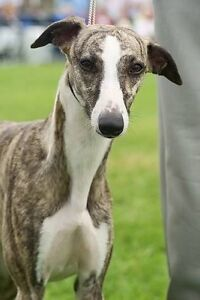 Whippets pup. Wakool Wakool Area Preview