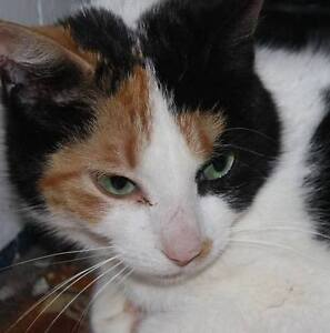 "Adult Female Cat - Calico: ""Spotty"""