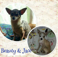 Chihuahua Puppies - Male & Female