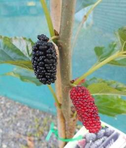 Mulberry and Fig trees, Brown Turkey, White Adriatic, Black Genoa West Ballina Ballina Area Preview