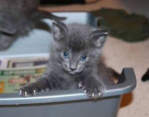 Cute Grey Kitten, Jazz, for Adoption with KLAWS