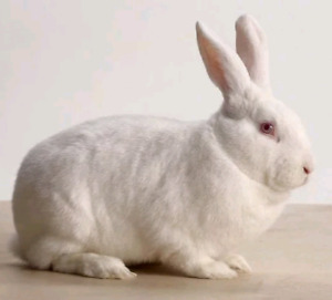 Wanting a white rabbit of any kind!
