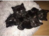Adorable black kittens for sale - £150 - One remaining