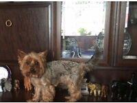 Missing Yorkshire terrier Handsworth