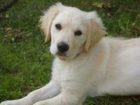 Buetiful Golden Retriever girl puppie