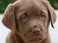 We're Looking for a Chocolate Lab Puppy