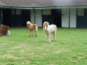 2 pony stallions for sale Cobbitty Camden Area Preview