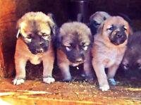 Puppies:Livestock Guardian Dogs (LGD), Anatolian + Akbash Hybrid