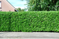 Skilled Hedge trimming at great rates