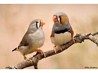 Zebra finches and canaries