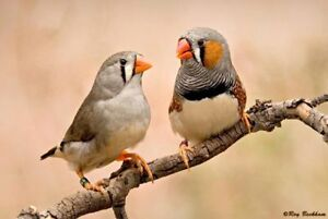 Zebra Finches - 2 Male and 3 Female - Proven Breeders