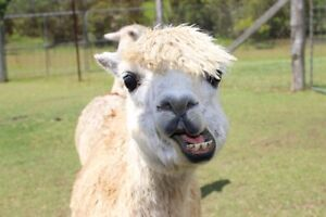 LOOKING FOR A FRIENDLY ALPACA