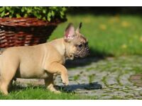 Male French Bulldog