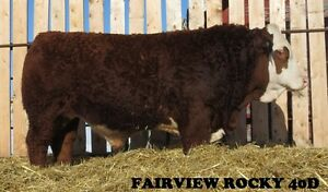 Forden Fairview Farm - Simmental Bulls for Sale
