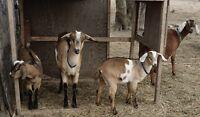 Goat Bucklings for Sale