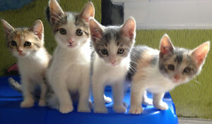 Rescued Kittens 9wks - ALREADY NEUTERED/VACC/etc