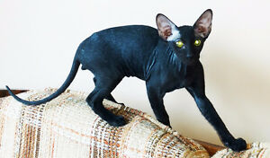 Peterbald kitten - expensive and rare